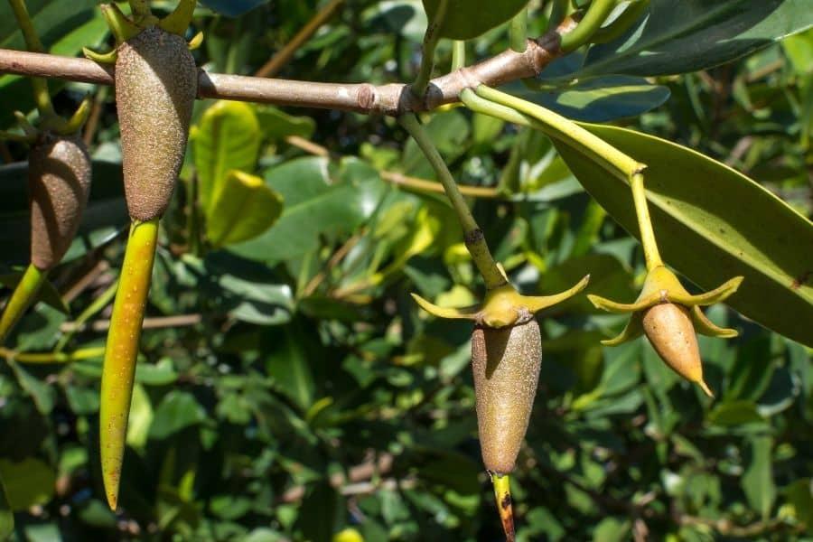 Plants For Saltwater Aquarium Red Mangrove Propagule