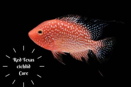 Red Texas Cichlid Care & 15 Things To Know