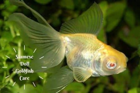 Siamese Doll Goldfish Care 12 Things Must Know