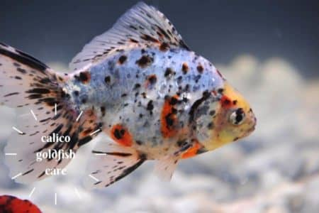Calico Goldfish | Care  and 15 Things Must Know