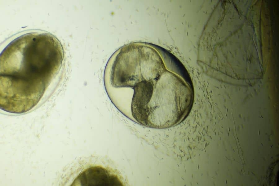 snail eggs on microscope
