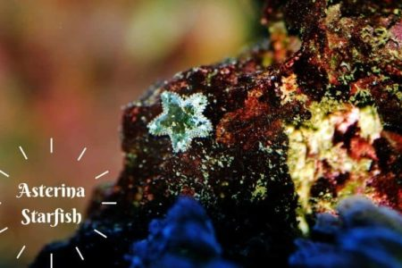 Asterina Starfish | An Easy Addition to Your Aquarium|