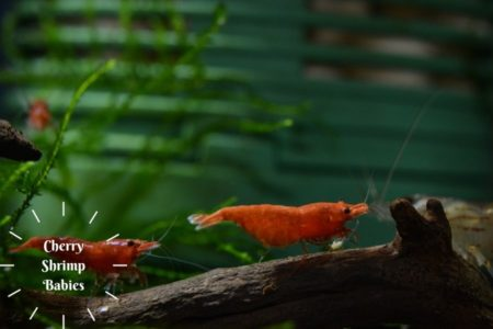 Cherry Shrimp Babies Care | List of Things You Should Consider |
