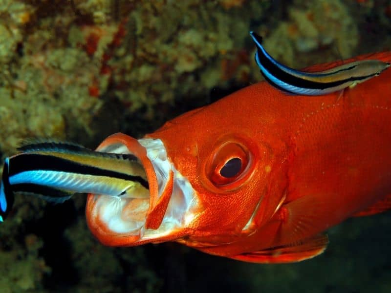 Cleaner Wrasse cleaning
