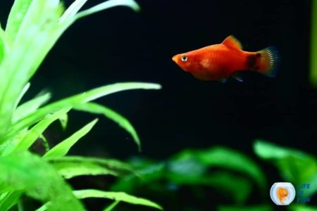 Do Platies Eat Plants? | And Other Important Facts About Feeding Platy |