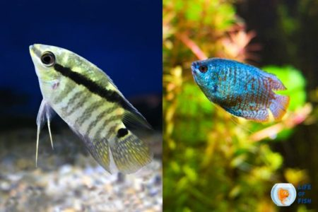 Are Gourami and Cichlids the same? 12 Interesting Facts