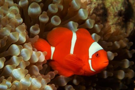 How Big Do Clownfish Get?  Size Comparison on Each Species.