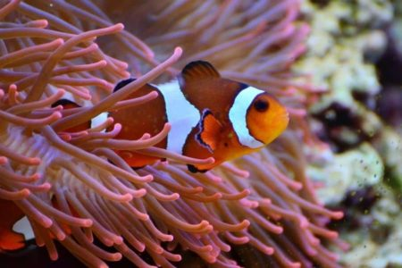 How Much Do Clownfish Cost By Type? Must Know Things