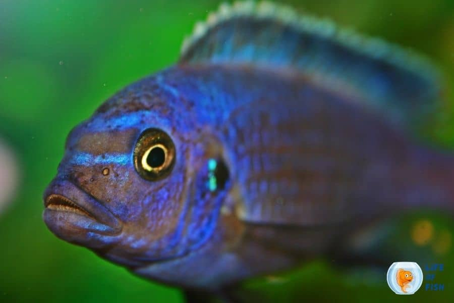 How Often to Feed Cichlids Cichlid