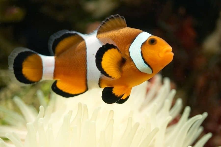 Percula Complex Clownfish