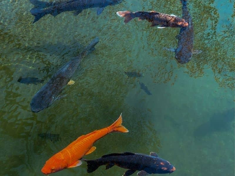 Vinegar Kill Algae In A Fish Tank