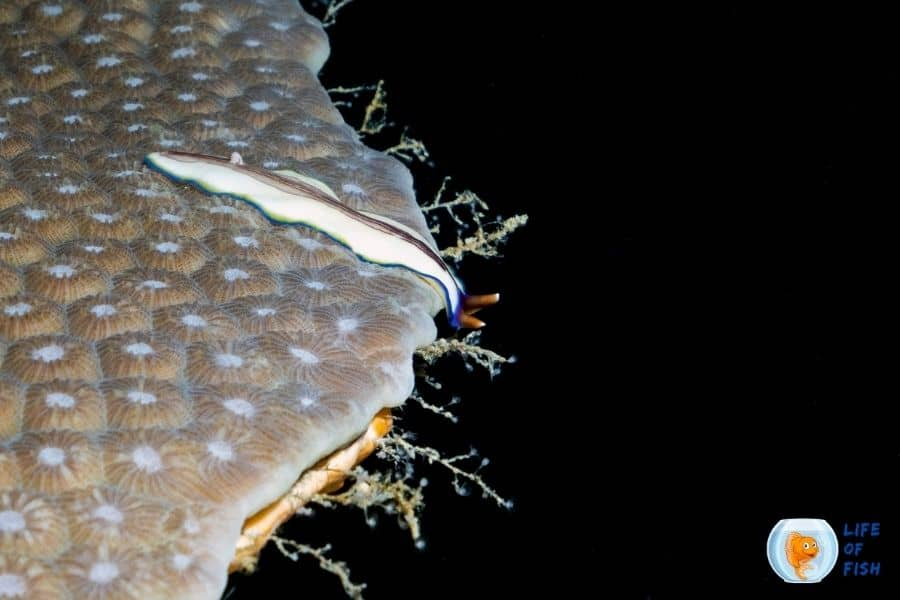coral worms