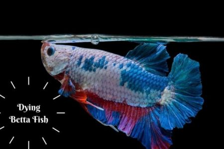 How to Comfort a Dying Betta Fish? | Everything You Need To Know|