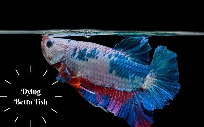 Do dying why keep my fish betta Why is