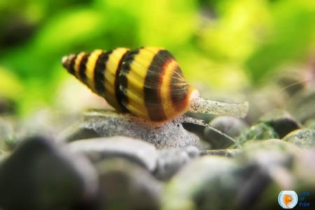 Assassin Snails Breeding Guide | 8 Interesting Facts To Know