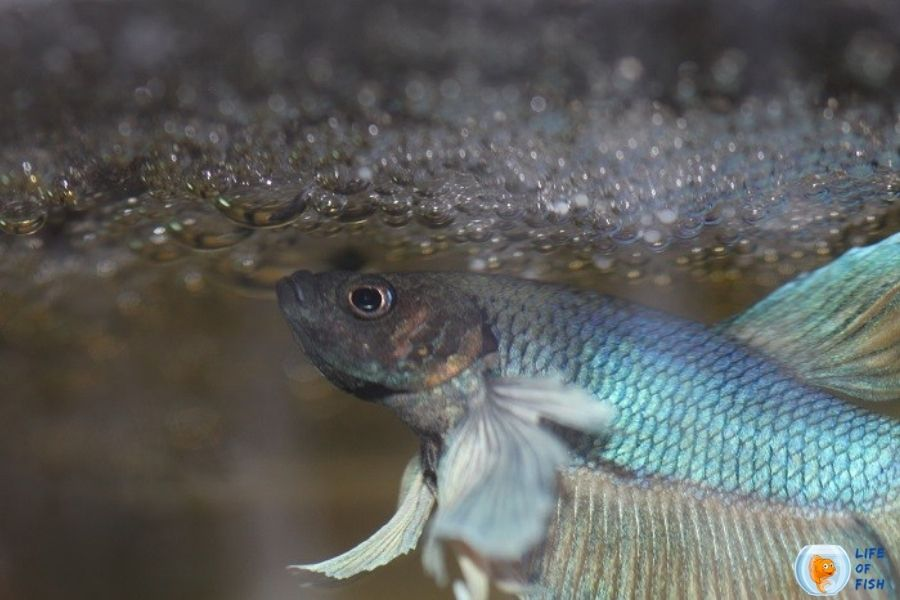 How To Tell If Betta Eggs Are Fertilized