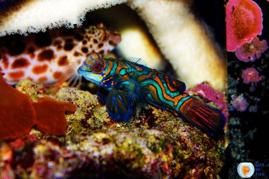 How Much Mandarin Goby Cost