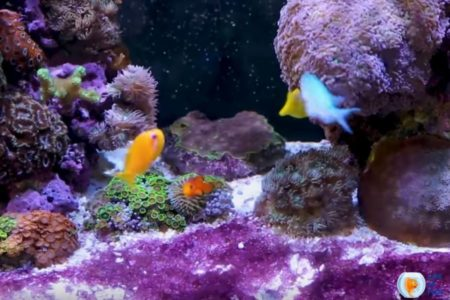 What Eats Cyanobacteria In A Reef Tank? | A Comprehensive Guide |