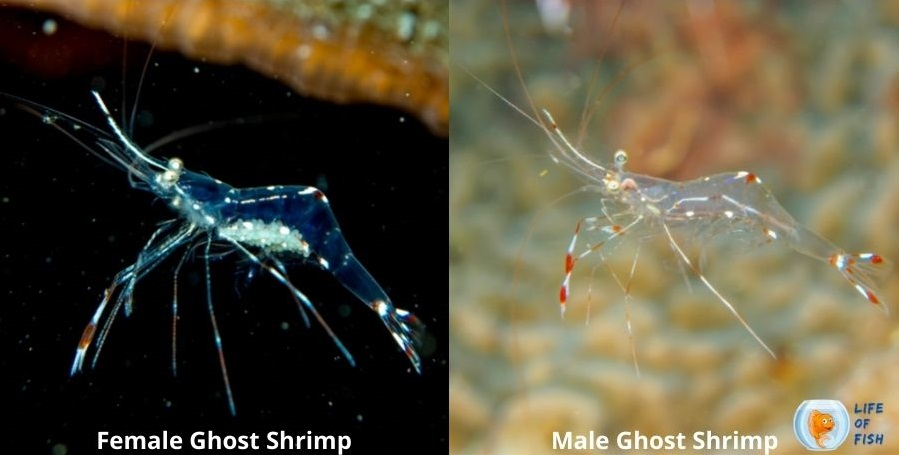 male and female ghost srimp