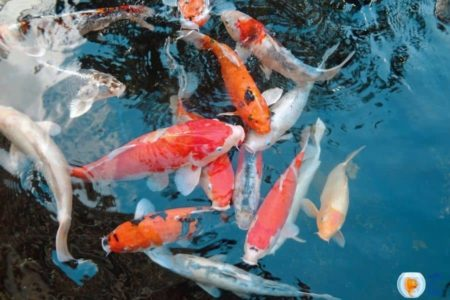 Can Koi Fish Survive In Cold Water?   Lesser Known Facts About Koi Fish 