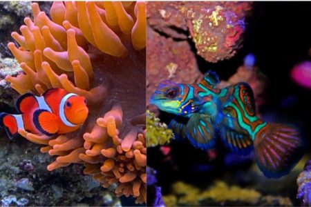 Can Mandarin Goby and Clownfish Live In The Same Tank? | 8 Fun Facts |