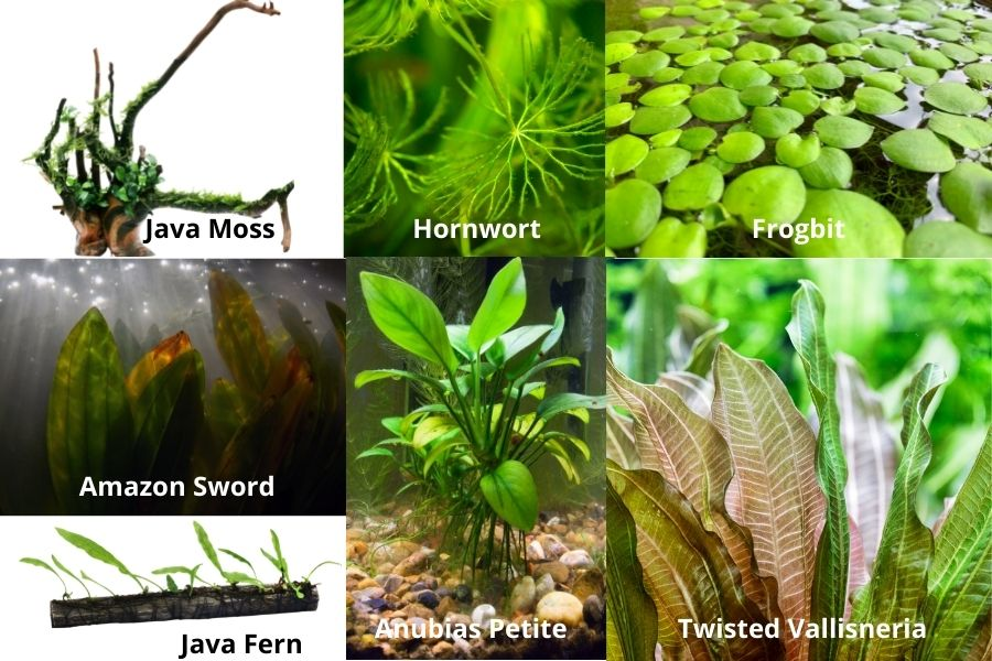 Which Plants Are Suitable For A Red Eye Tetra Tank