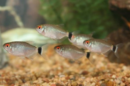Do Red Eye Tetras Eat Plants? 6 Other Food Red Eye Tetra Eat.