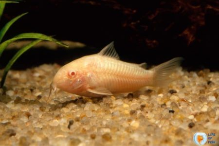 Albino Cory Catfish   11 Highly Informative Facts About The Fish