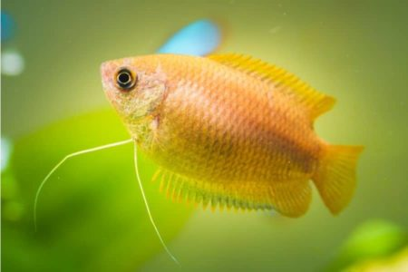 Female Honey Gourami   9 Fascinating Facts You Must Know  