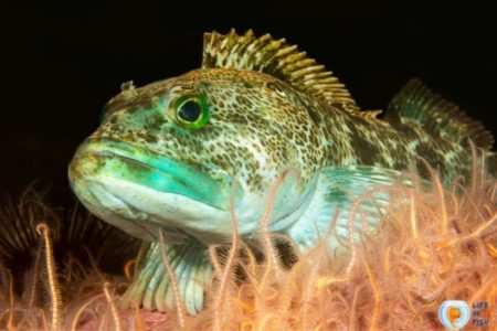 Blue Lingcod (Ophiodon elongatus)    Be Fascinated With These 8 Facts