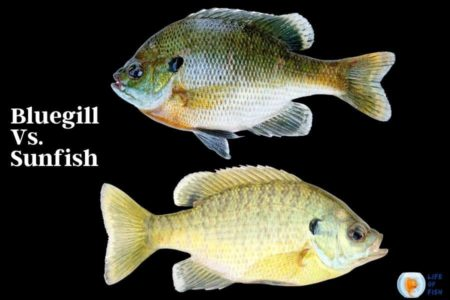 Bluegill Vs. Sunfish   12 Facts To Avoid Your Confusion 