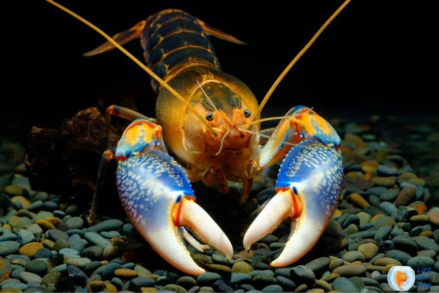 crayfish in cold water