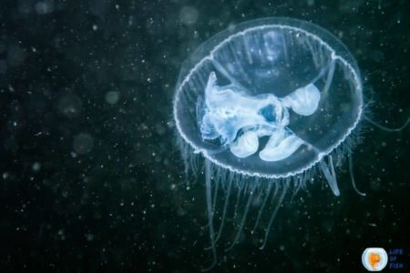 Are There Freshwater Jellyfish ? 10 Amazing Facts