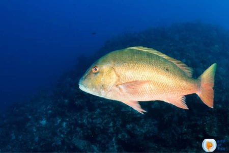 Mutton Snapper Fish   10 Super Interesting Facts About The Fish