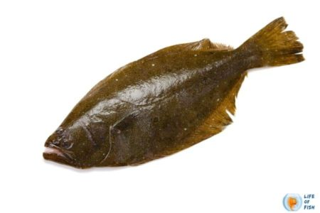 Olive Flounder (Paralichthys Olivaceus)   8 Interesting Facts
