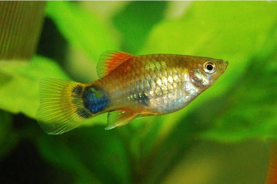 platy live in cold water