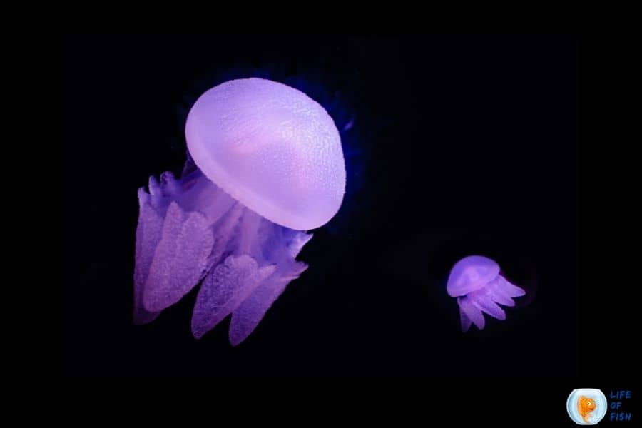 How long do jellyfish live