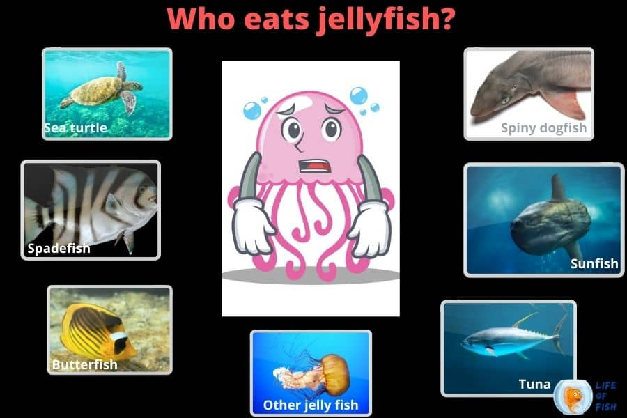 who eat jellyfish