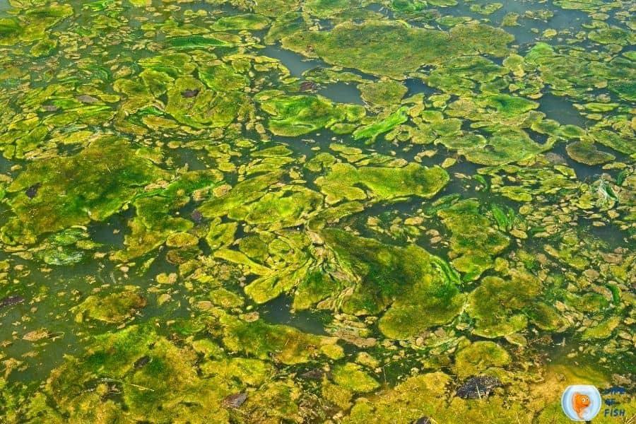 Keep Algae Out Of Pond