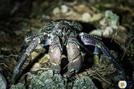 Are Coconut Crabs Dangerous?   17 Mind Numbing Facts  