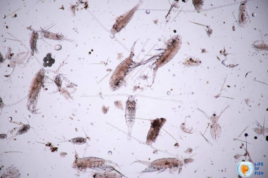 copepods in fish tank
