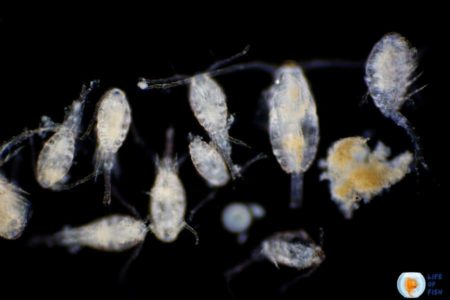 How To Get Rid Of Copepods In Fish Tank?   Aquarit's Secrets  