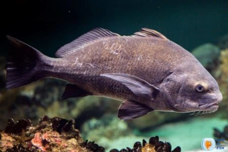 Drumfish   Did You Know These Fascinating Facts ?
