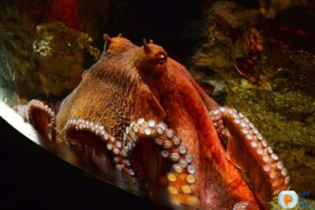 Can Octopus Breathe Air?   This Is What You Need To Know  