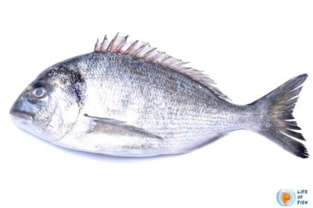 Beginners Guide To Porgy Fishing   With Super Interesting Facts 