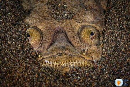 Wonderful Stargazer Fish   15 Things You Should Know About  