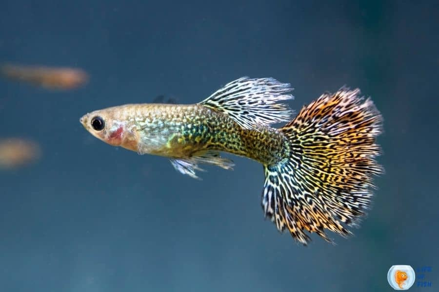 fin rot in guppies